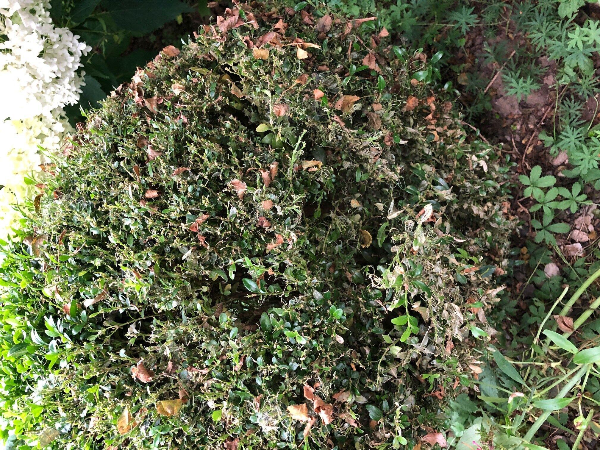 Kahlfraß durch den Buchsbaum-Zünsler. Foto: Umweltstation Weismain/Michael Stromer