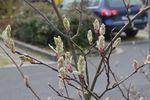 115 - 2018_04_2018_PM_Gartentipp 16_Wildobst in voller Blüte ? die Felsenbirne-2