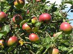 274 - 2018_09_21_PM_Obstkundliche Führung Apfel Roter Bellefleur