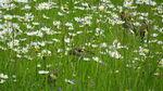 Miniaturbild zu:Pressemitteilung 197-2020: Distelfinken-Familie fühlt sich auf der Blumenwiese wohl