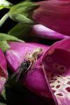 202 - 2020_07_01_PM Gartenfreuden brandl_kutzenberg Springspinne fängt Fliege auf Fingerhut