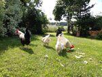 Miniaturbild zu:Pressemitteilung 244-2020: Wenn die Hühner zum Sonntagsausflug starten