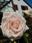 Miniaturbild zu:Pressemitteilung 261-2020: Zarte Tropfen auf zarten Blüten
