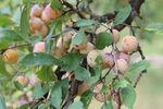 Miniaturbild zu:Pressemitteilung 306-2020: Mehr Obstbäume in der Landschaft