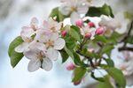 Miniaturbild zu:Gartentipp 06-2020: Welcher Obstbaum blüht denn da?