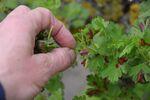 Miniaturbild zu:Gartentipp 07-2020. Wenn Obstgehölze Blasen zeigen