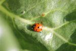 Miniaturbild zu:Gartentipp 08-2020: Erste Marienkäfer im Garten