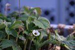 Miniaturbild zu:Gartentipp 09-2020: Spätfröste schädigen Obstgehölze