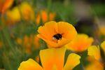 Miniaturbild zu:Gartentipp 10-2020: Orange ist die Farbe des Sommers: der Kalifornische Mohn