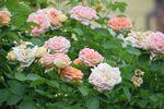 Miniaturbild zu:Gartentipp 11-2020: Rosenpflege nach der Blüte