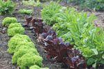 Miniaturbild zu:Gartentipp 12-2020: Salate für die kalte Jahreszeit