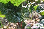 Miniaturbild zu:Gartentipp 04-2021: Rhabarber – fruchtiges Saison-Gemüse