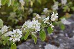 Miniaturbild zu:Gartentipp 05-2021: Felsenbirne bietet bereichert naturnahen Garten