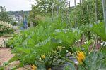 Miniaturbild zu:Gartentipp 06-2021: Zucchini brauchen Wasser und Wärme