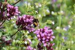 Miniaturbild zu:Gartentipp 07-2021: Kräuter sind wichtige Nahrungsquellen für Bienen