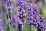 Miniaturbild zu:Gartentipp 08-2021: Lavendel zaubert den Süden in den Garten