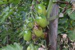 Miniaturbild zu:Gartentipp 09-2021: Trauer im Tomatenbeet